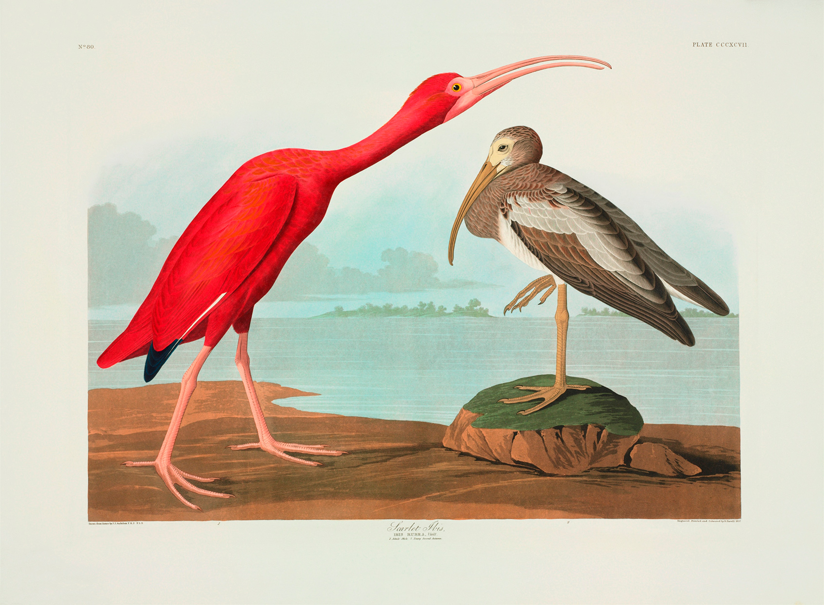 ジョン・オーデュボン 『アメリカの鳥』 ©The Trustees of the Natural History Museum, London