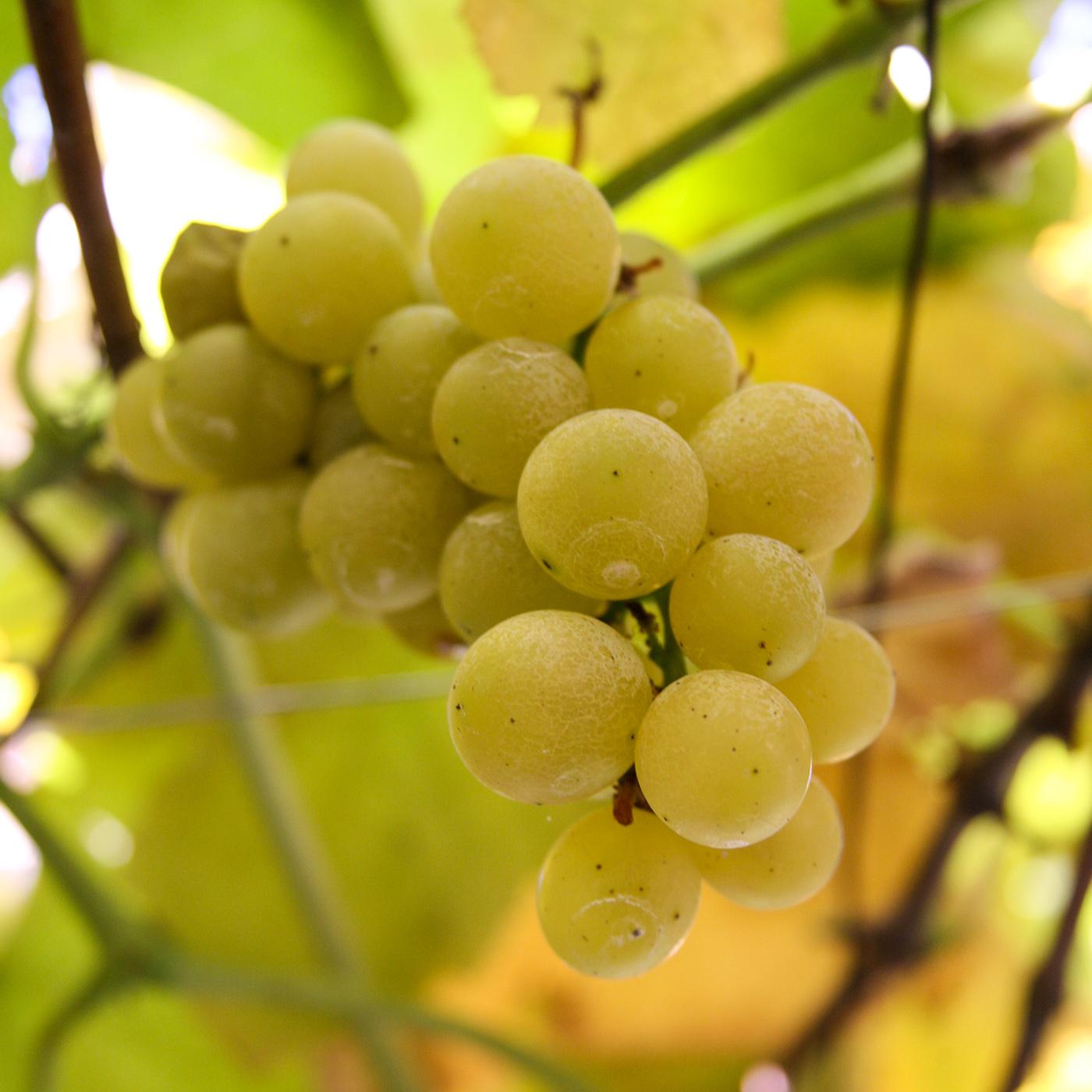 井筒ワインは試験栽培を含めて約30種類のぶどうを栽培しており、契約しているぶどう農家は約120軒という。