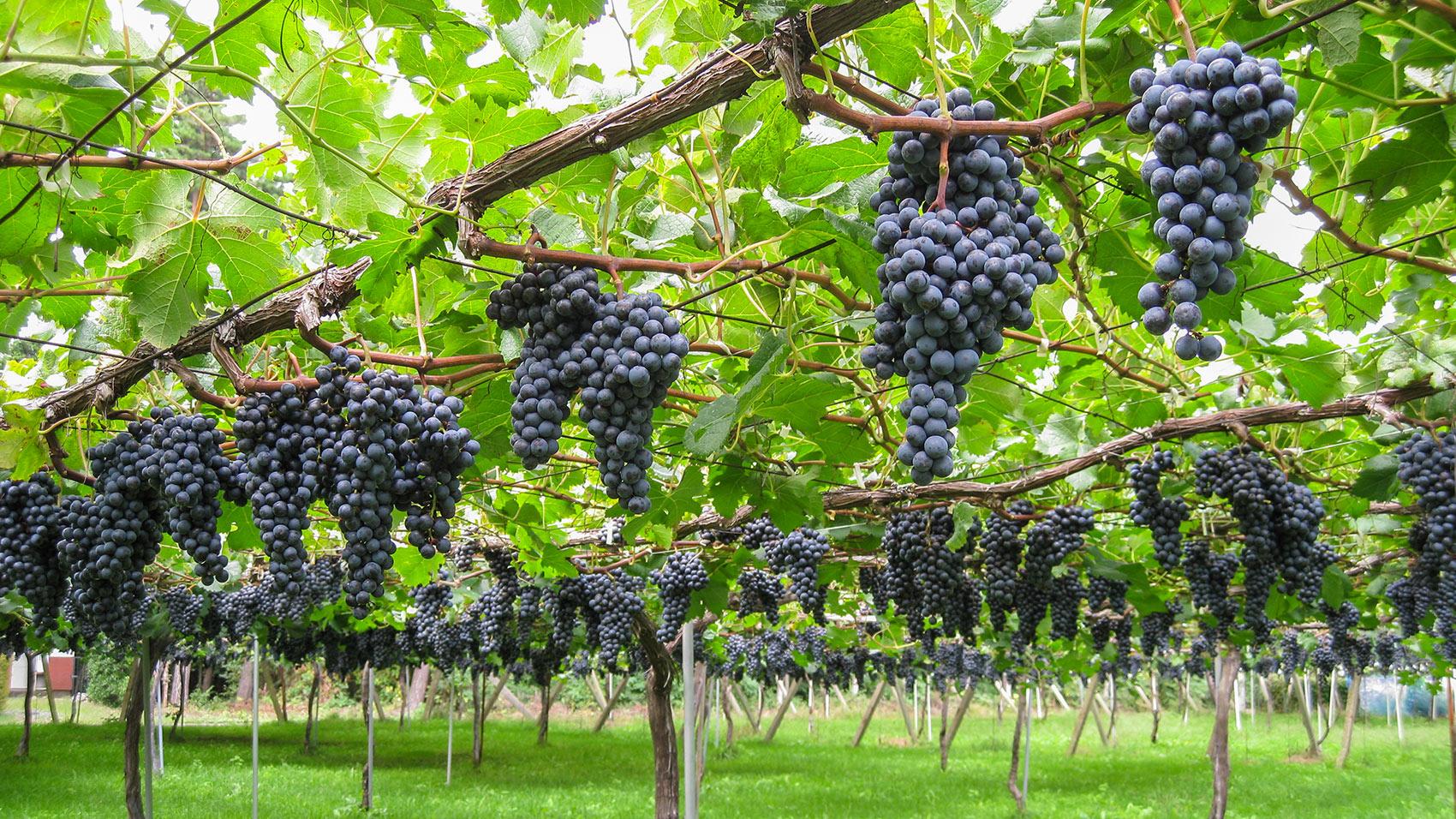 伝統的な棚栽培の方式で育つメルロー種のぶどう。